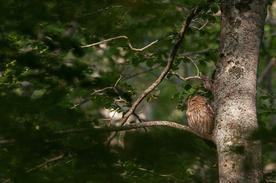 Un allocco riposa all'interno della faggeta nei boschi di Pescasseroli