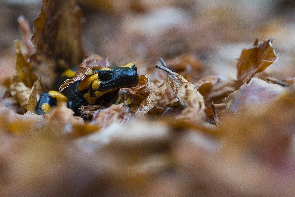 Una salamandra appenninica si muove sulla lettiera