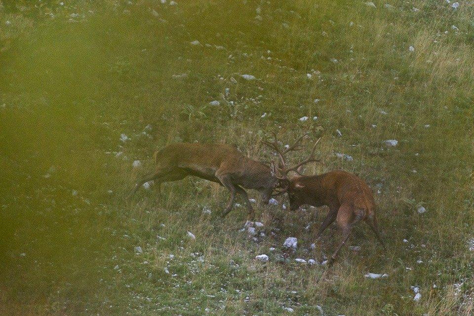 Due maschi di cervo si sfidano durante la stagione dei combattimenti