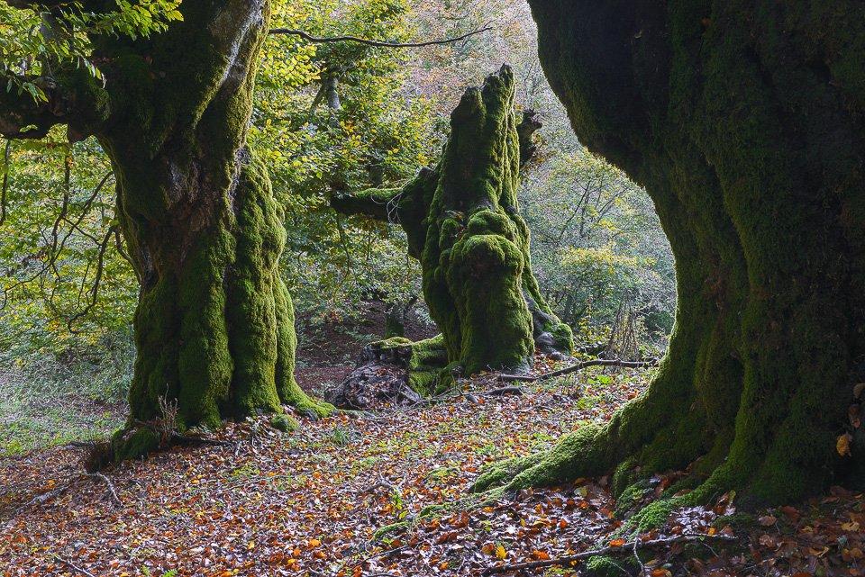 I misteriosi faggi contorti all'interno dei boschi di Pescasseroli