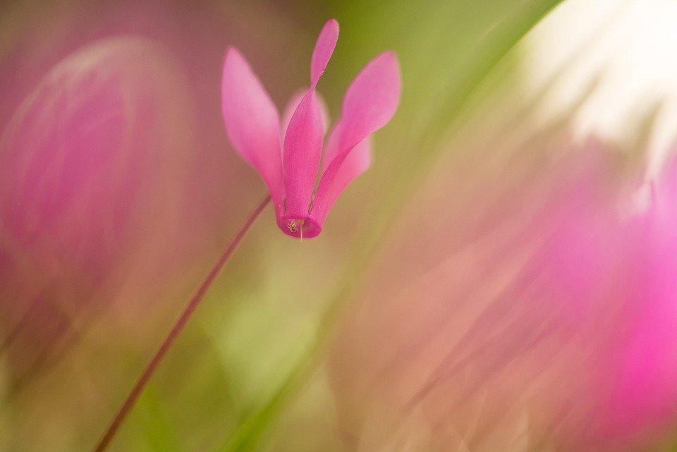 Le vivaci fioriture di ciclamino ravvivano i colori del sottobosco