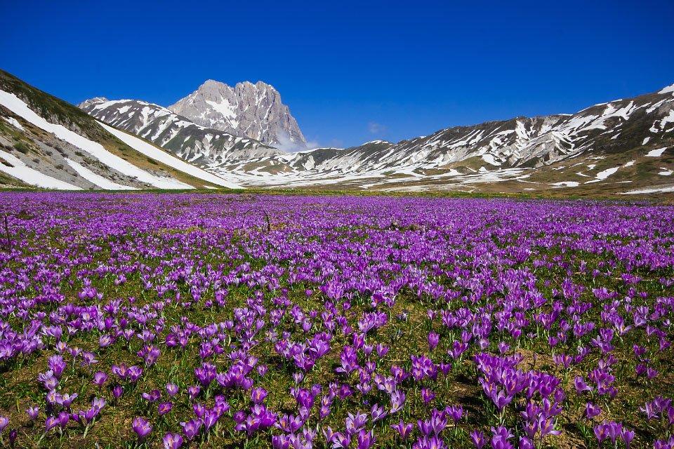 Le fioriture di crochi ai piedi del Corno Grande, nel Parco Nazionale del Gran Sasso e dei Monti della Laga